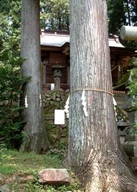kouyousugi